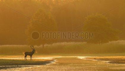 Red deer in water at sunrise Germany