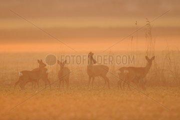 Roe deers in morning mist at sunrise Germany