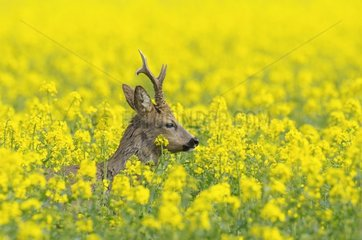 Roebuck in canola field at spring Germany