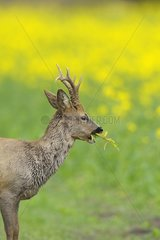 Portrait of a Roebuck grazing Germany