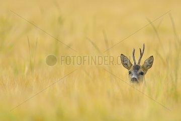 Portrait of a Roebuck in a grain field Germany