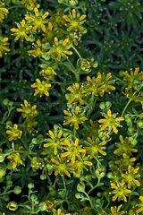 Yellow saxifraga in bloom in Catalonia Spain