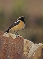 Buff-streaked Chat on rock Sani Pass Lesotho