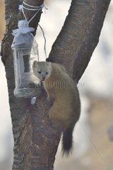 Japanese marten climbing a tree Japan