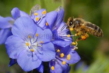 Honey Bee on Jacob's-ladder flower Northern Vosges France