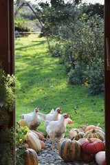 Chickens ans potirons squashes in front of a window