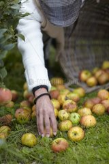 Harvest of apples 'Reine des Reinettes'