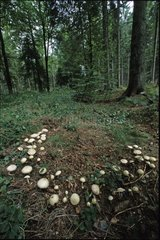 Wood Mushrooms fairy ring in the undergrowth