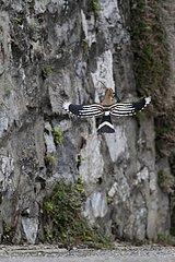 Hoopoe flying a road Suisse