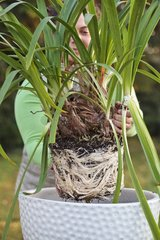 Repotting of a lily of the Nile in a garden