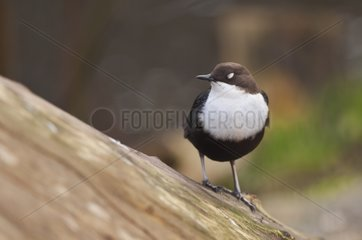 White-throated Dipper with closed eyes Denmark