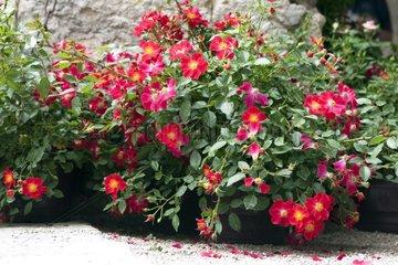Rose-tree 'Red Dot' in bloom in a garden