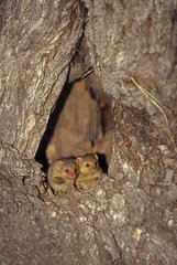 Young Dwarf mongooses awaiting the return of their mother