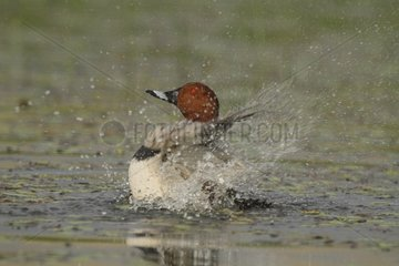 Pochard male snorting water France