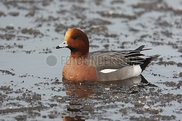 Male Wigeon swimming in icy water Dumfries Scotland