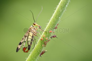 Common Scorpionfly eating aphids on stem Belgium