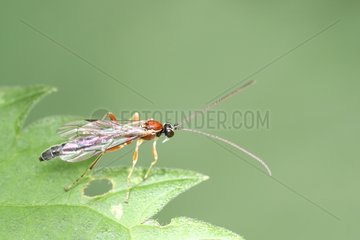 Ichneumon Wasp on a leaf Belgium