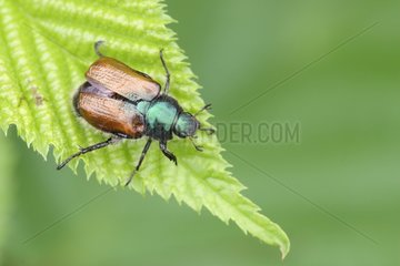 Garden Foliage Beetle on a leaf Belgium