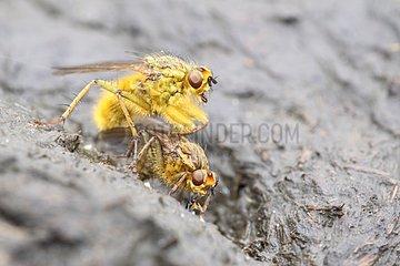 Mating Yellow Dung Flies on cow dung Belgium
