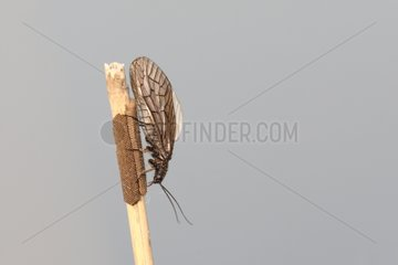 Alderfly with eggs Belgium