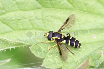 Hover Fly on a leaf Belgium