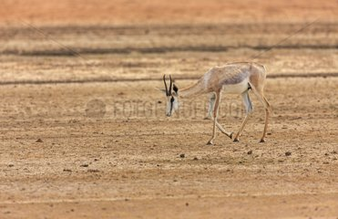 Springbok with discolored skin in the Kalahari Desert