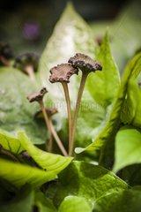Dorstenia in bloom in a garden