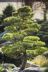 Japanese white pine in a garden