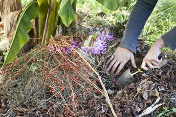 Adding organic scrap directly on the foot of plants