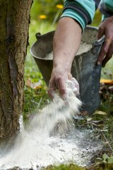 Spreading of lime on the foot of a fruit tree in a garden