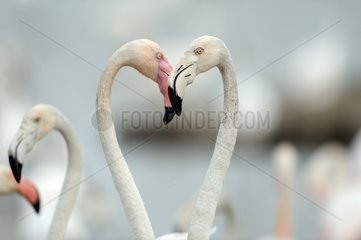 Rosy Greater Flamingos France Camargue
