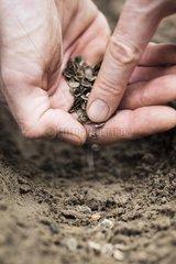 Sowing of parsnip in a kitchen garden
