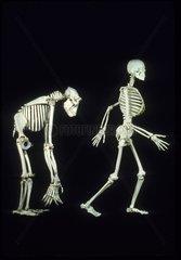 Human skeleton versus Gorilla skeleton