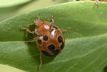 Melon leaf beetle on leaf Côte d'Azur France