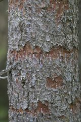 Traces of Three- oed Woodpecker in a trunk Vaud Switzerland