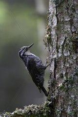 Three- oed Woodpecker male in a trunk Vaud Switzerland