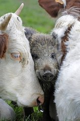 Eurasian wild boar adopted by Cows France