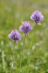 Chives flowers Alpes France
