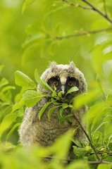 Young Long-eared owl in the leaves Serbia
