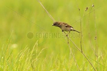 House sparrow on a twig Serbia