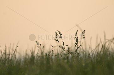 Gramineae in a field in Serbia