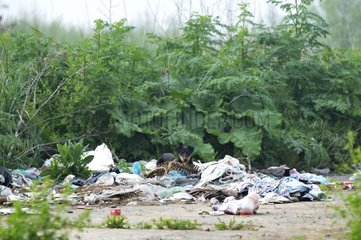 Dog eating in a dumpsite Serbia