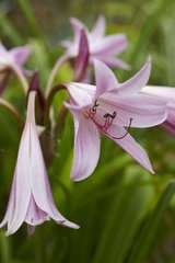 Crinum in bloom in a garden