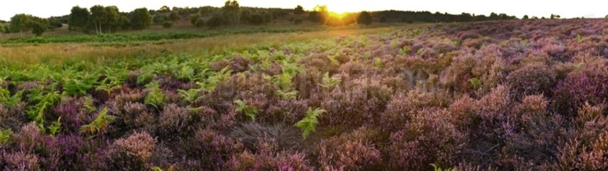 Lowland heath on Minsmere RSPB within the Suffolk Sandlings