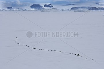Emperor Penguins walking across ice near Snow Hill Island