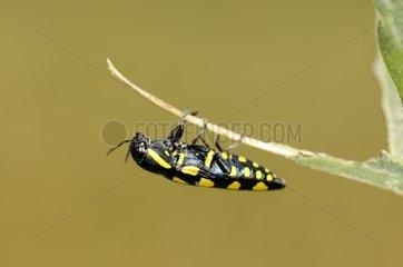 Metalic Wood-boring Beetle under a leaf France