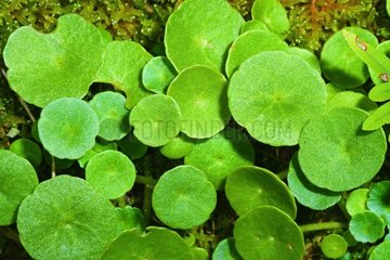 Wall Pennywort Plants Spain