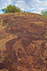 Petroglyph showing a Giraffe Peet Alberts Namibia