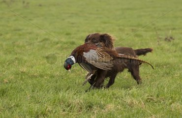 Gun Dog with a pheasant in the mouth - GB