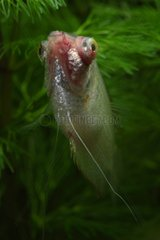 Portrait of Gourami suffering from bacterial infection